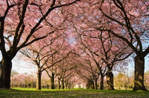 Spring: abundance of Japanese cherry blossoms